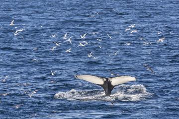 Humpback whale (Megaptera novaeangliae), Vikingbukta, Northeast Greenland, Polar Regions