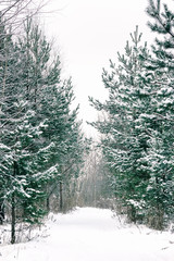 Footpath Among Snow-covered Spruces And Pines