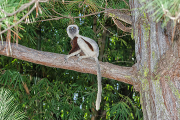 Coquerel's Sifaka (Propithecus coquereli), Madagascar, Africa