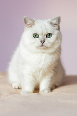 British silver colored cat sitting on a bed in bright room, closely and sad looking at the camera
