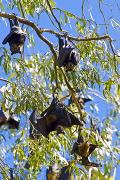 Colony of Spectacled Flying-fox bats roosting, Port Douglas, Queensland