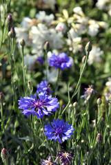 blue cornflower flower among green grass