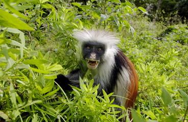 Zanzibar Red Colobus monkey, one of Africa's rarest primates