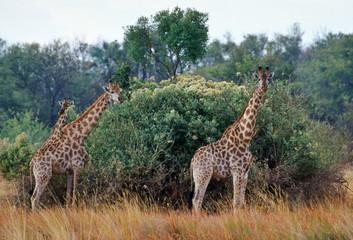 Herd of three giraffes  in Moremi National Park, Botswana