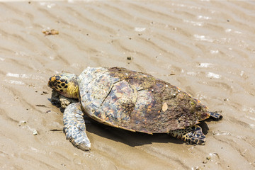 Sea Turtle dies on the beach