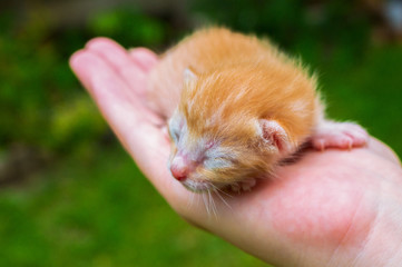 Newborn kitty in hand. New born baby cat. Red kitty in caring hands
