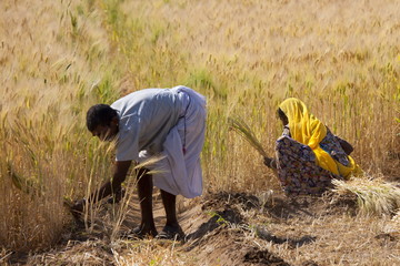 Barley crop being harvested by local agricultural workers in fields at Nimaj, Rajasthan, Northern India