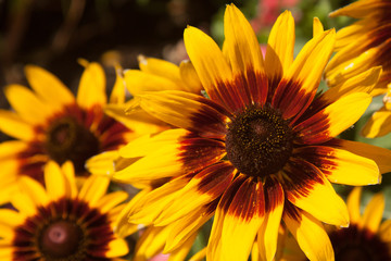 Brilliant sunflowers burst with color in a brightly lit display of yellows, reds, and browns.