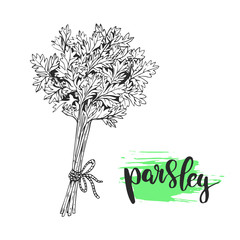 Parsley sketch illustration. Nice hand drawn parsley plant with calligraphic name.