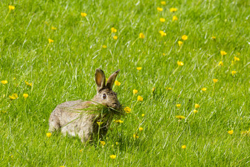 Wild rabbit munching grass in a field of buttercups, England, United Kingdom, Europe