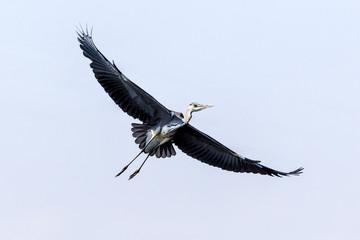 A black Heron.