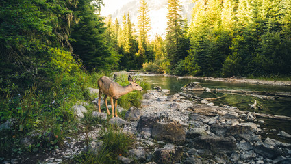 Wall Mural - Lone deer by a river.