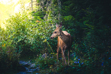 Wall Mural - Deer in a forest looking into sunlight.