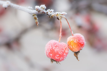 Ripe apples covered with frost