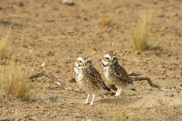 Burrowing owl (Speotito cunicularia), Patagonia, Argentina, South America
