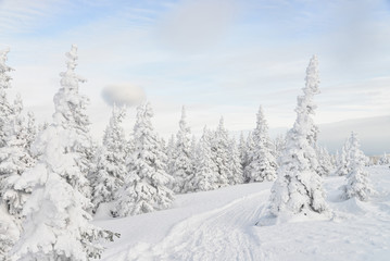 Beautiful winter forest with pine trees covered by snow