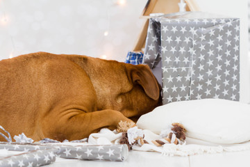 Dogue de bordeaux unwrapping her christmas or birthday gift.