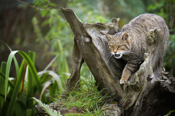 Scottish wildcat (Felix silvestris), Devon, England, United Kingdom, Europe