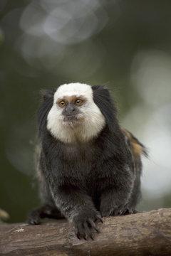 Wied's marmoset (Wied's black-tufted-ear marmoset) (Callithrix kuhlii), Bahia, Brazil