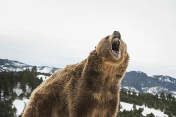 Brown bear (grizzly), Ursus arctos, roaring