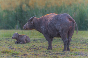 Water Buffalo in Thailand