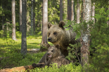 Brown bear, Ursus arctus, with cub