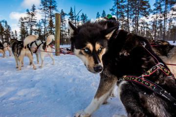 Husky Dogsledding Safari, Kakslauttanen Igloo Village, Saariselka, Finland, Scandinavia, Europe