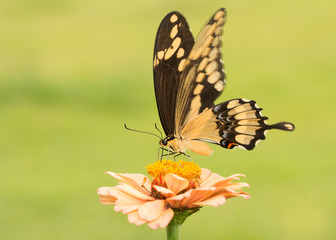 Beautiful Giant Swallowtail butterfly on a pale orange Zinnia with green background