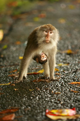 Monkey and baby, Sacred Monkey Forest, Bali, Indonesia, Southeast Asia, Asia