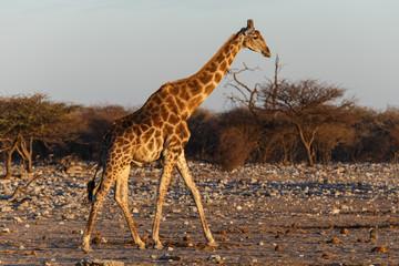 Poster Giraffe Giraffe - Etosha Safari Park in Namibia