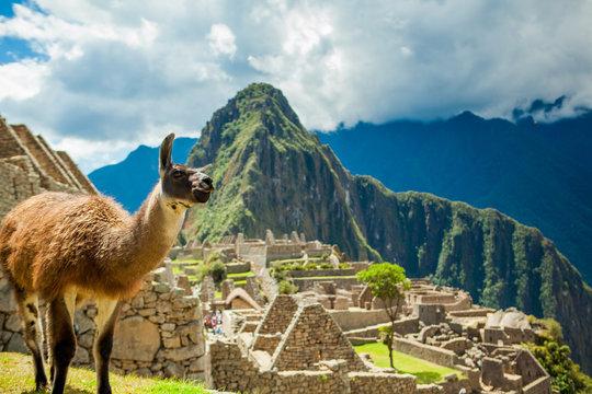 Resident llama, Machu Picchu ruins, Peru