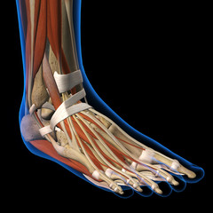 Woman X-ray Dorsal View of Foot