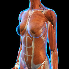 Woman X-ray View of Muscles
