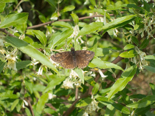 Columbine Duskywing (Erynnis lucilius) butterfly warming wings