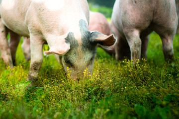 pigs outside in the grass
