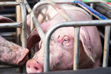 Pig in the cage, Selective focus on eye