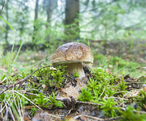 Russia - Moscow region - Porcini mushroom grows in the nature environment forest