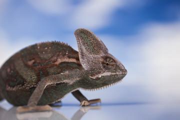 Aluminium Prints Chameleon Kameleon jemeński