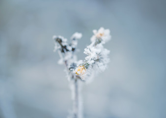 Frozen flower in winter with the hoar-frost