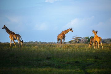 Giraffes at the Isimangaliso wetland park, St Lucia, South Africa