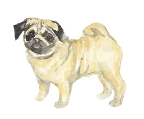 Isolated watercolor dog standing on white background. Cute puppy. Pug.