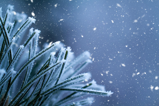 Winter background. Pine tree branches covered frost.