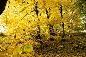 Autumn yellow leaves on the trees