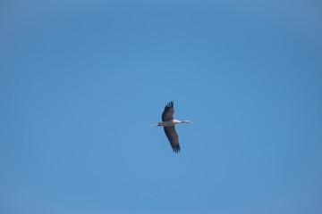 einzelner fliegender Kranich im blauen Himmel