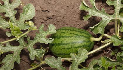 Watermelon on plantation field