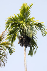 High palm of Nosy Be, Madagascar