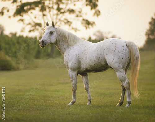 Leopard palomino colored Appaloosa stallion stands in open pasture.