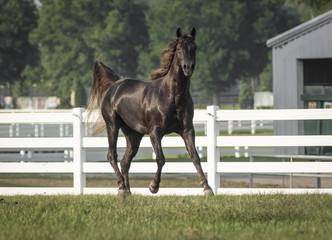 Missouri Fox Trotter stallion horse Wall mural