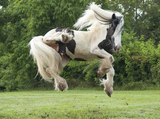 Gypsy Vanner stallion leaping in air