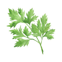 Watercolor Vegetable Parsley Hand-Painted Isolated